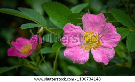 pink rose of sharon blossom