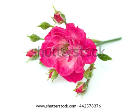 pink rose on a white background - stock photo