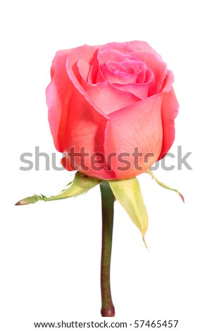 Pink rose on a white background it is isolated.