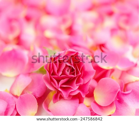 Pink rose on petals background - stock photo