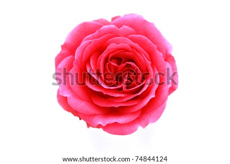 pink rose on white background - flowers and plants - stock photo