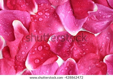 Pink rose petals close-up, wet, water drops, beautiful fresh aromatic background.  - stock photo