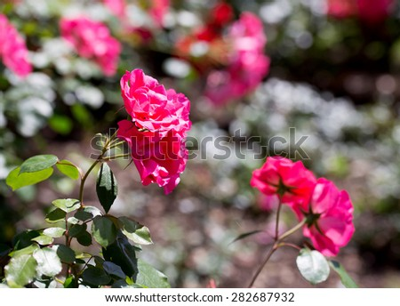 pink rose plant with rose plant background - stock photo