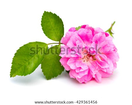 Pink Rose (Rosa) on a white background - stock photo