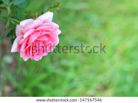 Pink rose with drops of dew - stock photo