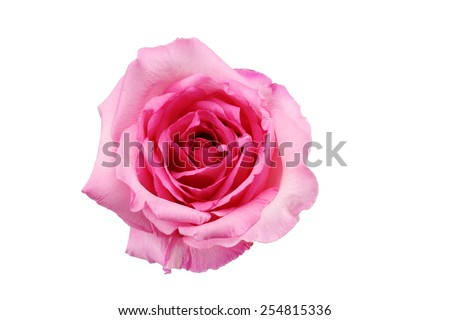 Pink rose with isolation background - stock photo