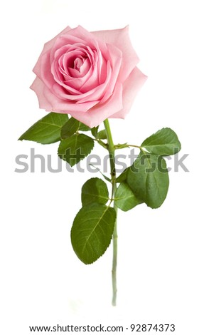 Pink rose with leaves isolated on white - stock photo