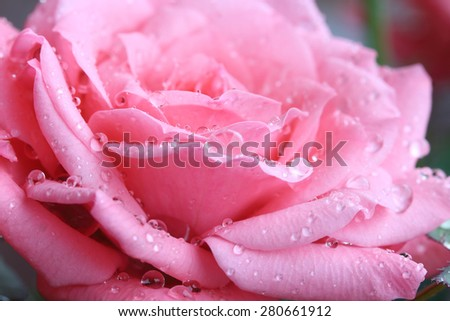 Pink rose with morning dew drops - stock photo