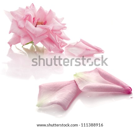 Pink rose with petals on white background - stock photo
