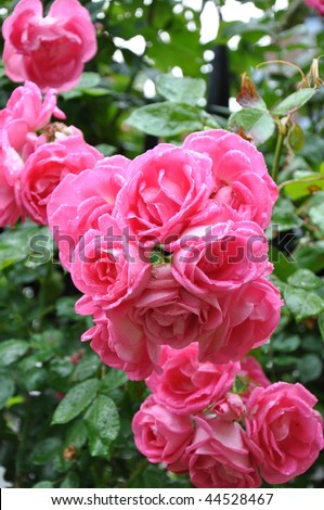 Pink Rose with Rain droplets - stock photo