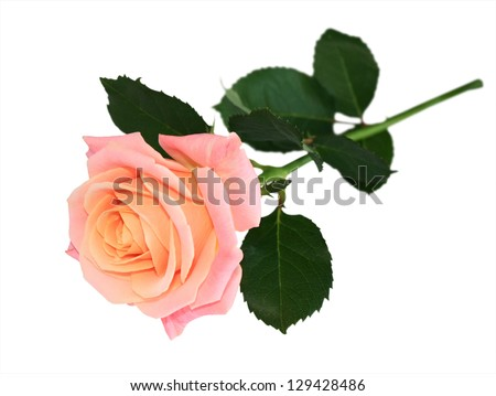 Pink rose with stem isolated on white background - stock photo