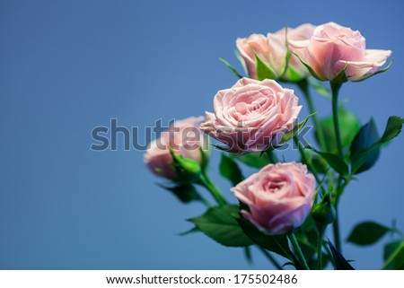 Pink rose with turquoise blurry background - stock photo