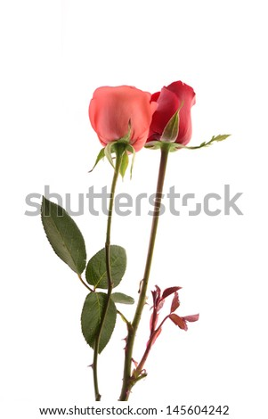 Pink roses and red roses isolated on a white background