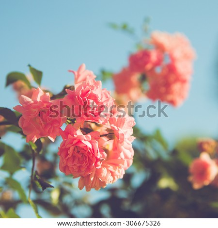 pink roses at the park. summer evening.  - stock photo