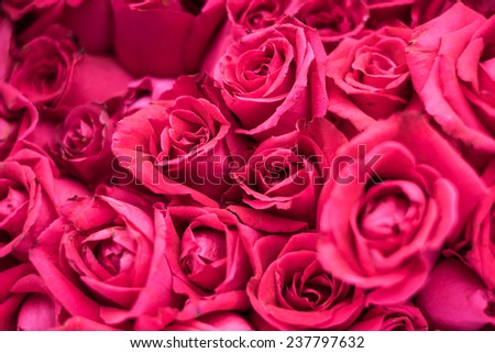 Pink  roses background, shallow depth of field - stock photo
