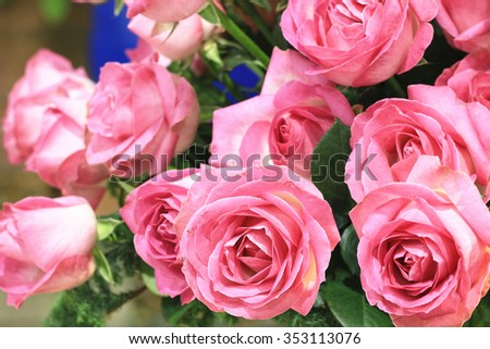 Pink roses,beautiful pink roses blooming in the garden in autumn - stock photo