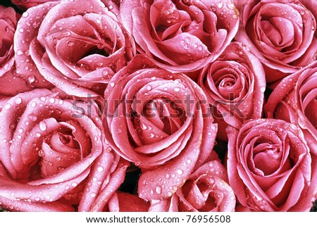 Pink roses closeup with water drops - stock photo