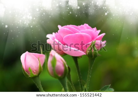 Pink roses for extraction of essential oils. (Rosa damascena) - stock photo