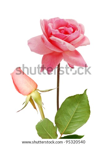 Pink roses for 'love' - stock photo