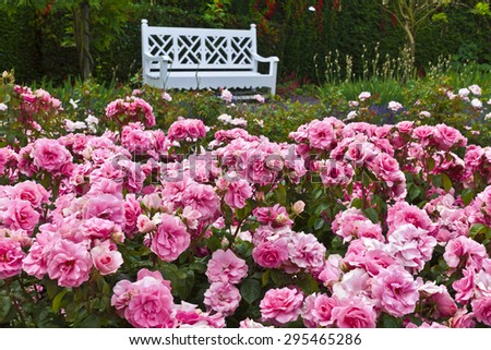 Pink roses in a garden. - stock photo