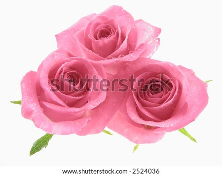 Pink roses isoletaed on the white background