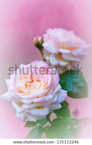 Pink roses on pink in garden - stock photo