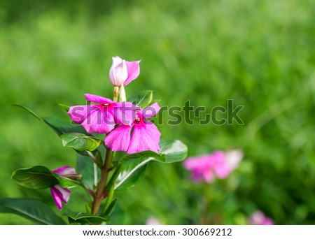 Pink Roseus flowers in garden. The scientific name Catharanthus roseus G., Common name Don.,Madagascar periwinkle, Vinca,Old maid, Cayenne jasmine, Rose periwinkle - stock photo