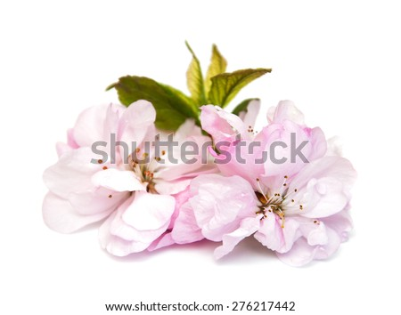 Pink sakura blossom on a white background
