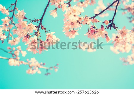 Pink Sakura flower blooming on blue sky background - vintage style color effect with soft focus - stock photo