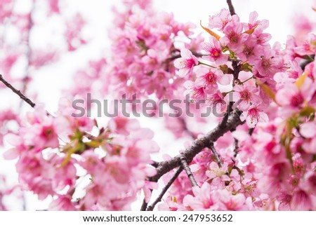Pink sakura in soft color and blur style - stock photo