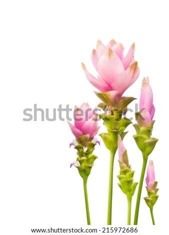 Pink  siam tulip isolated on white background - stock photo