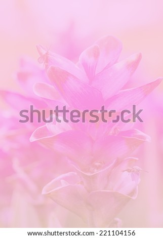 Pink Siam Tulip (Patumma) flower garden made with pastel tones