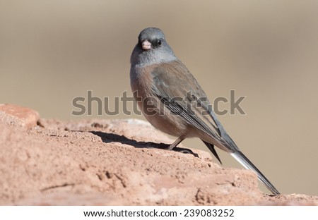 Pink-sided Dark eyed Junco - stock photo