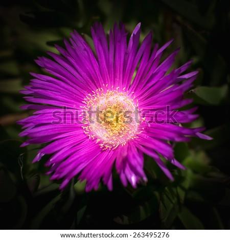 Pink single flower in garden blooming in spring - stock photo