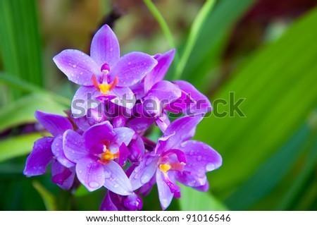 Pink Spathoglottis Orchid - stock photo