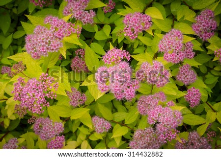 pink spirea in bloom - stock photo