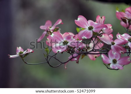 Pink spring dogwoods in full bloom in Central Park New York City - stock photo