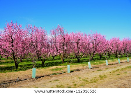 Pink spring flowers blossoming tree on farm - stock photo