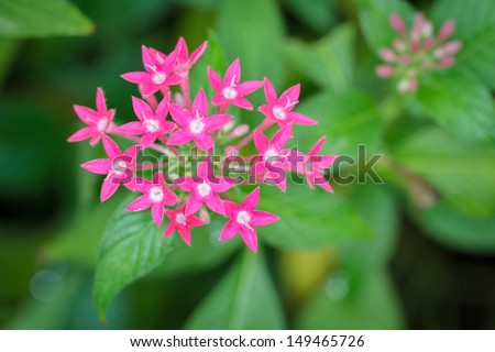 Pink Star Cluster Flowers - stock photo