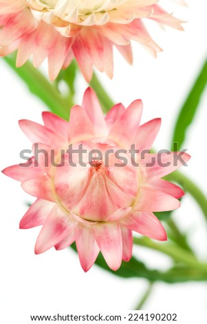 Pink strawflowers, close-up - stock photo