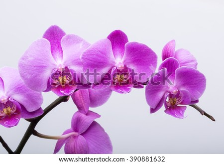 Pink streaked orchid flower, isolated on white background - stock photo