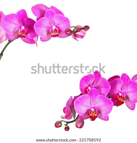 Pink streaked orchid flowers, isolated - stock photo