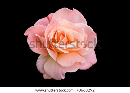 Pink tea rose isolated on a black background - stock photo