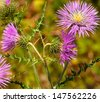 Pink thistle flowers in full bloom, spring wildflowers - stock photo