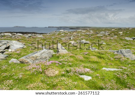 Pink thrift growing on Annagh head, Mayo, Ireland. - stock photo