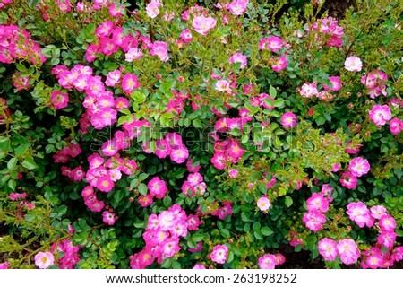 Pink tiny flowers stock photo royalty free 263198252 shutterstock pink tiny flowers mightylinksfo