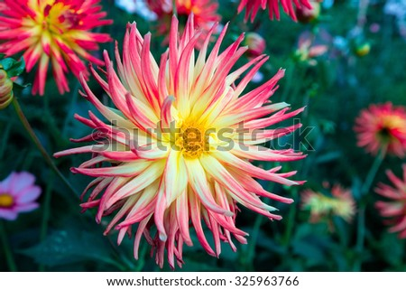Pink tipped dahlia flower in a herbaceous border. - stock photo
