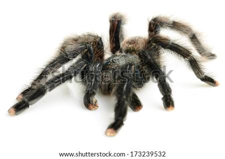 Pink-toed tarantula (Avicularia avicularia) - stock photo