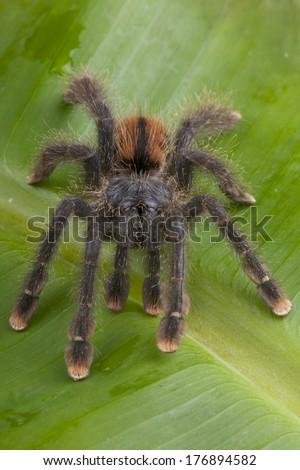 Pink-toed tarantula / Avicularia avicularia - stock photo