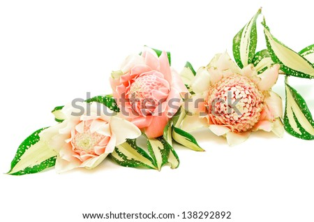 Pink Torch Ginger flower (Etlingera elatior), isolated on a white background - stock photo